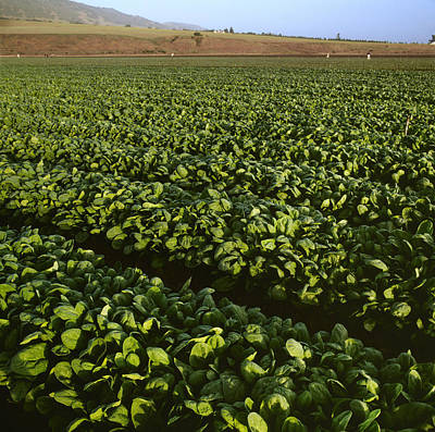 Lettuce Photograph - Agriculture - Field Of Healthy Mature by Ed Young