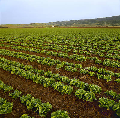 Lettuce Photograph - Agriculture - Field Of Healthy Mid by Ed Young