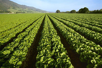 Romaine Lettuce Photograph - Agriculture - Field Of Mid Growth by Ed Young