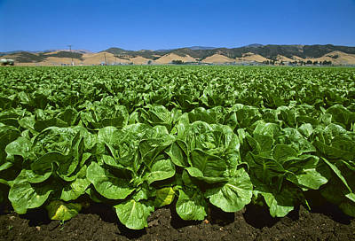 Agriculture - Field Of Romaine Lettuce Art Print by John Wigmore