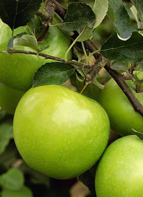Agriculture - Granny Smith Apple Print by John Marshall