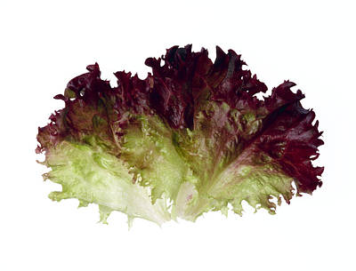 Lettuce Photograph - Agriculture - Lollo Rossa Leaves by Ed Young