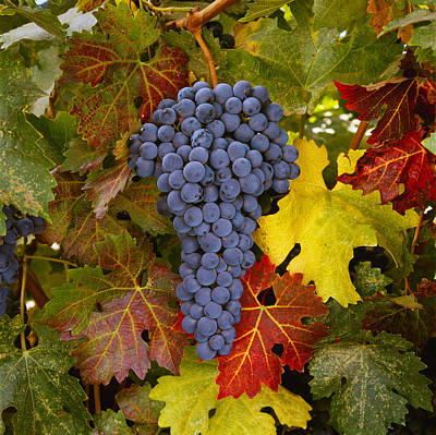 Agriculture - Mature Cabernet Sauvignon Print by Ed Young