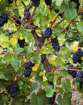 Netting Photograph - Agriculture - Mature Clusters Of Pinot by Charles Blakeslee