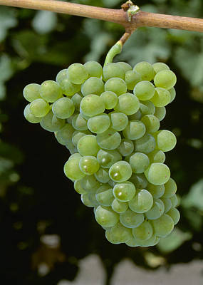 Agriculture - Mature Pinot Blanc Wine Art Print by Jack Clark