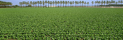 Romaine Lettuce Photograph - Agriculture - Mid Growth Field by Timothy Hearsum