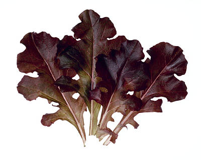 Lettuce Photograph - Agriculture - Red Oak Leaves Closeup by Ed Young