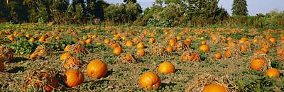 Pumpkin Fields Photograph - Agriculture - Ripe Pumpkins by Timothy Hearsum