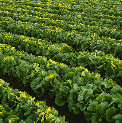 Lettuce Photograph - Agriculture - Rows Of Mature Iceberg by Ed Young