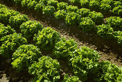Lettuce Photograph - Agriculture - Rows Of Mid Growth Green by Ed Young