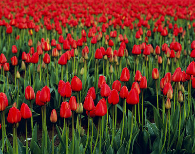Tulips In Field Photograph - Agriculture - Rows Of Vibrant Red by Chuck Haney