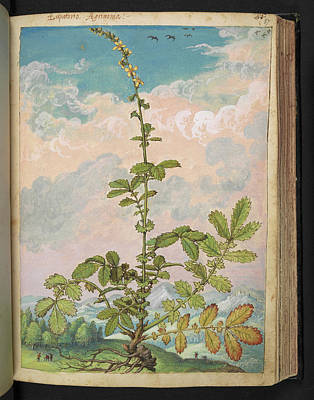 Physician Photograph - Agrimony (agrimonia Eupatoria) by British Library