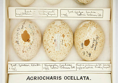 Agriocharis Ocellata Eggs Print by Natural History Museum, London