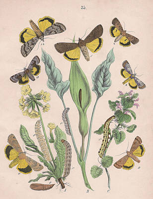Cuckoo Drawing - Agrotidae by W Kirby