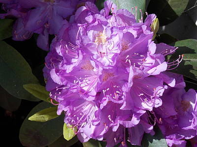 Ah Rhododendron Art Print