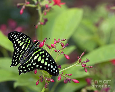 Travel - Tailed Jay butterfly  by Ruth Jolly