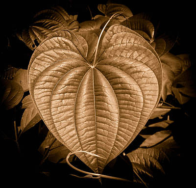 Photograph - Air Potato Heart In Sepia by Christy Usilton