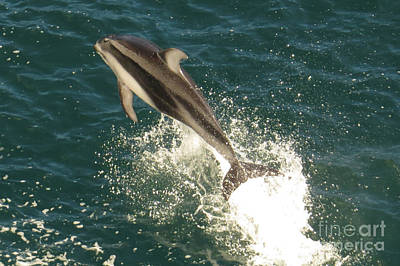 Photograph - Airborne Dolphin by Frank Townsley