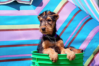 Airedale Terrier Photograph - Airedale Puppies In A Green Bucket (mr by Zandria Muench Beraldo