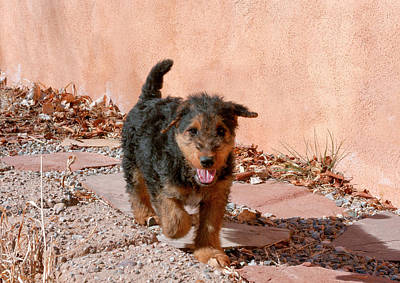 Airedale Terrier Photograph - Airedale Puppy Walking On Garden Path by Zandria Muench Beraldo