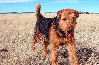 Airedale Terrier In A Field Of Dried Art Print by Zandria Muench Beraldo