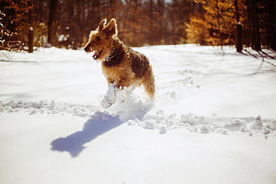 Photograph - Airedale Terrier Running On The Snow by Alex Potemkin