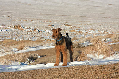 Alabama Hills Photograph - Airedale Terrier Standing In Alabama by Zandria Muench Beraldo