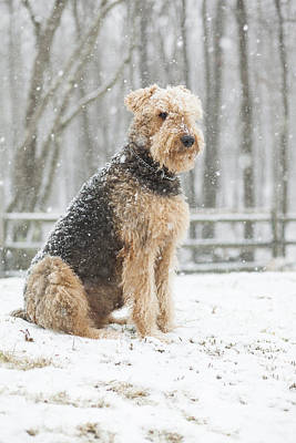 Photograph - Airedale Terrier The Dog Under The Snowfall by Alex Potemkin
