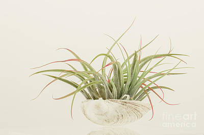 Airplant Art Print