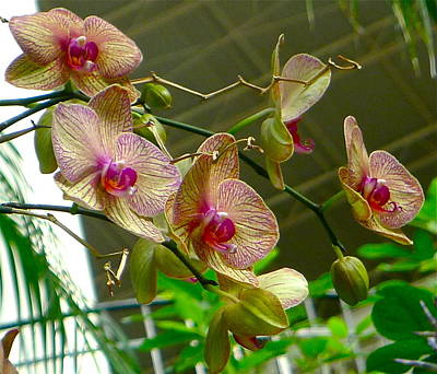 Photograph - Airy Orchids by Denise Mazzocco