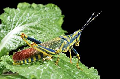 Grasshopper Wall Art - Photograph - Ak Grasshopper by Uk Crown Copyright Courtesy Of Fera/science Photo Library