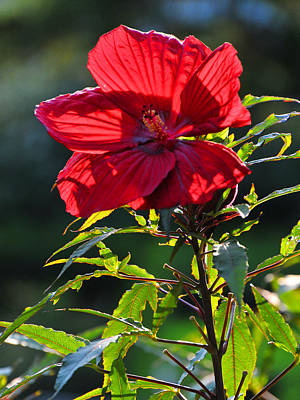 Photograph - Aka Rose Mallow by Mike Martin