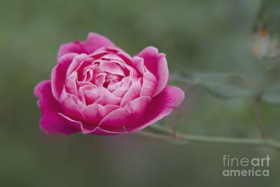 Rose Of Sharon Tree Photograph - Akala Pua Nani O Wailua by Sharon Mau
