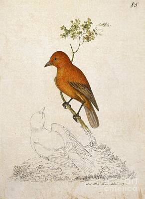 'akepa Forest Bird, 18th Century Print by Natural History Museum, London