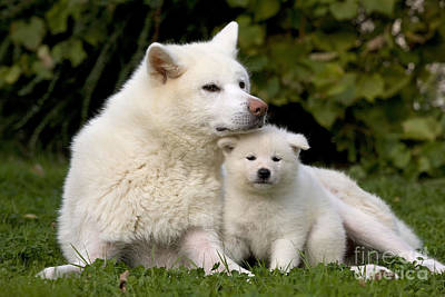 Japanese Puppy Photograph - Akita Inu Dog And Puppy by Jean-Michel Labat