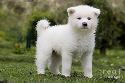 Photograph - Akita Inu Puppy Dog by Jean-Michel Labat