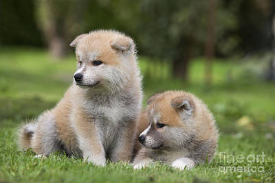 Japanese Puppy Photograph - Akita Inu Puppy Dogs by Jean-Michel Labat