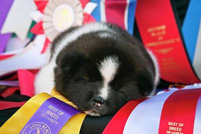 Soft Puppy Photograph - Akita Puppy Dreams (mr & Pr by Zandria Muench Beraldo