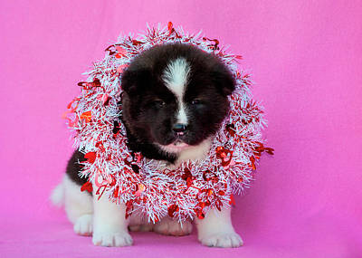 Japanese Puppy Photograph - Akita Puppy On Valentine's Day (mr & Pr by Zandria Muench Beraldo