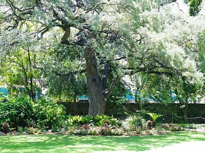 Photograph - Alamo Courtyard Acacia by The GYPSY