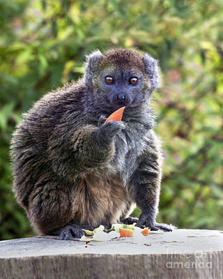 Photograph - Alaotran Gentle Lemur by Terri Waters