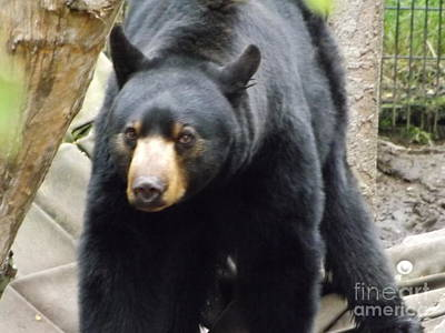 Brigitte Photograph - Alaska Black Bear by Brigitte Emme