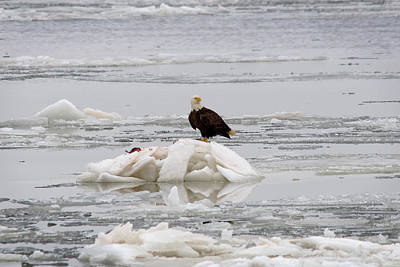 Avian Photograph - Alaska In Maryland by Benjamin DeHaven