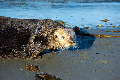 Otter Photograph - Alaska Sea Otter by Debra  Miller