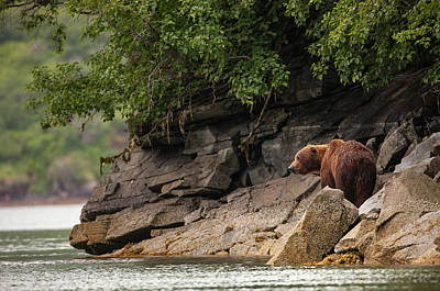 Kodiak Photograph - Alaskan Grizzly Bear, Ursus Arctos by Jak Wonderly