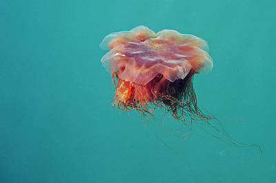 Photograph - Alaskan Jellyfish by Doug Davidson
