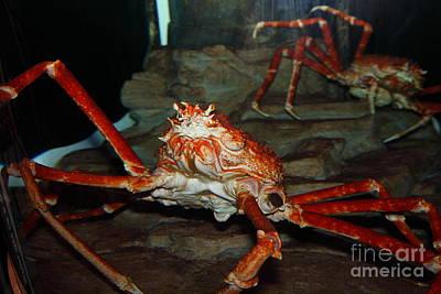 Alaskan King Crab 5d24125 Art Print by Wingsdomain Art and Photography