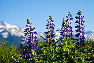 Alaskan Lupin Art Print by Chris Heitstuman