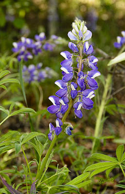 Photograph - Alaskan Lupine In Denali Park by Penny Lisowski