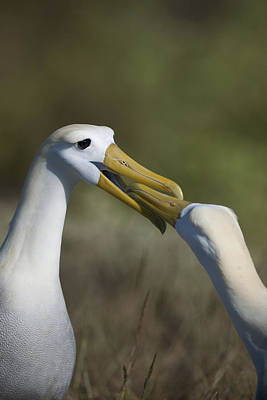 Albatross Courtship Art Print by Richard Berry